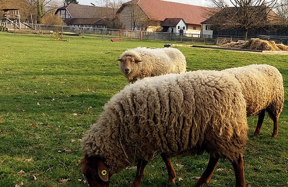 Glücklich unter Schafen